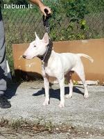 Bull terrier Femmina